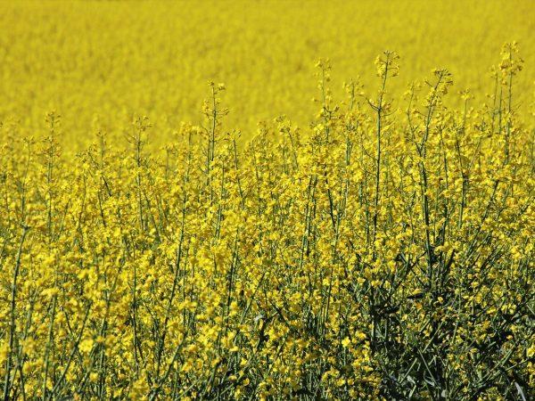 Doskonałe rozwiązania w temacie herbicydów do ziemiana czy rzepaku